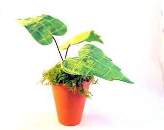 Velvet leaves, Velvet Plants, Fabric Plants, Jungalow Style