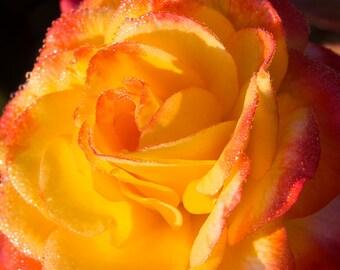 Sunrise Peach Rose Flower Nature Photography Print