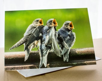 Barn Swallows waiting to be fed - young baby fledglings Photo Greetings Card (A5) Photograph