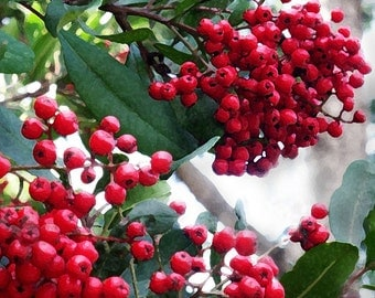Red Berries Photo, Toyon 5x7 Photo, California Garden Photo, Heteromeles arbutifolia, Christmas Photo