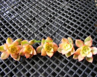 5 Aeonium Kiwi Succulent Cuttings