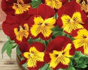 35+ Sunburst Pansy Panola / Flower Seeds