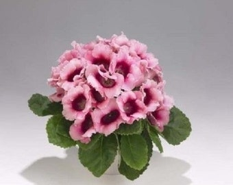 25+ Pink Empress Bi-Color Gloxinia Flower Seeds