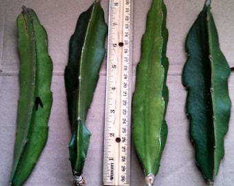 Dragon Fruit - Purple Haze or American Beauty - Fresh Cuttings! - Hylocereus