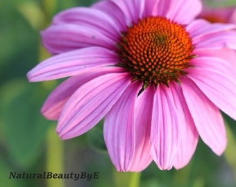 Flower photography, purple coneflower, echinacea, purple, mauve, orange, red, summer, sunset, wall art, print, nature photography
