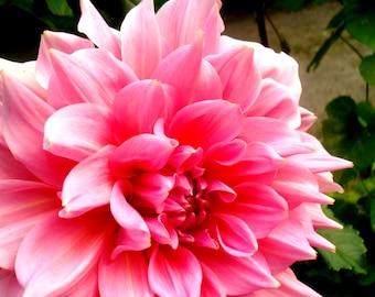 Pink Dahlia Flower Photograph