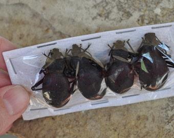 WYSIWYG:  4 Large Ground Beetles