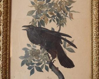 Antique . Audubon RAVEN ... Corvus Corax Male ... No 21 .. Plate C 1
