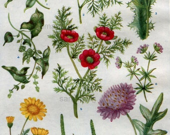 Vintage Chart of Wildflowers Scarlet Pimpernel Climbing Persicaria Chamomile Woundwort  Hilda M Coley
