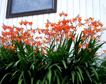 Crocosmia Corms Hardy Perennial Flowers, South African Iris, 24 Corms (Bulbs)