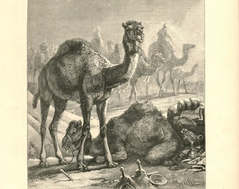 Antique Victorian Engraving Print of Camel 1880s