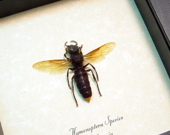 Real Framed Hymenoptera Sp. Gold Tip Wasp 7994G