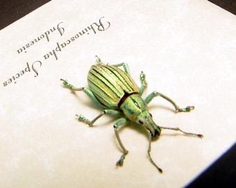 Real Rhinoscapha Sp Framed Metallic Weevil Beetle 6309