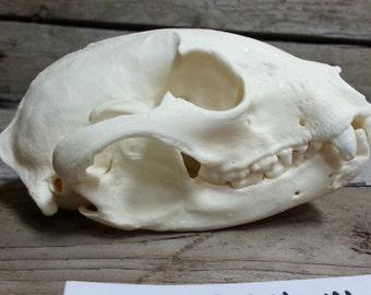 Raccoon Skull - Classic Quality - Lot No. 160924-M