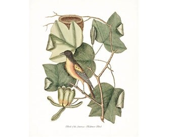 Catesby Vintage Bird Print,  Giclee Print, Baltimore Bird