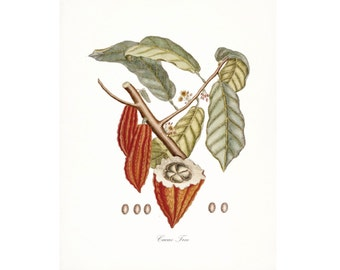 Vintage Cacao Tree Illustration - Traditional Botanical Natural History Giclee Art Print