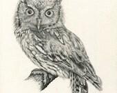 Eastern Screech Owl, Graphite Drawing Print