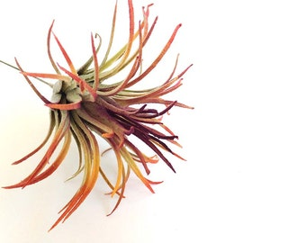 Air plant, faux air plant, ionantha, red air plant, air plants for sale, tillandsia, orange air plant, custom air plant