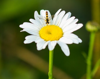 Wildflower, Hoverfly, Wildlife, Nature Fine Art Photography