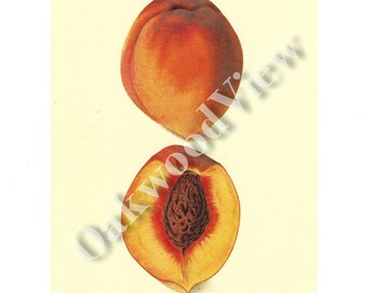 Peach Print by Elsie E. Lower Pomeroy, Botanical Fruit Illustration, Augbert, Vintage 1994 8x12 Color Bookplate Art, FREE SHIPPING