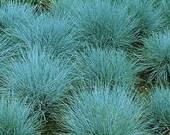 Fescue Grass Elijah Blue---3 plants
