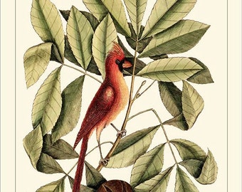 CARDINAL - Catesby Birds antique instant digital download reproduction