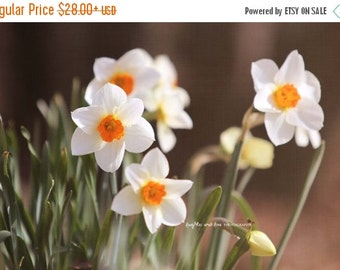 Christmas in July Daffodils Fine Art Photography Shabby Chic White Narcissus Yellow Orange Flower Floral Spring Nature Cottage Home Decor Wa