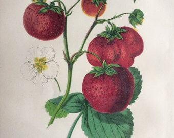 Rare Antique Botanical 1870s STRAWBERRIES STRAWBERRY FRUIT Chromolithograph 1874 Horticulture Gardening Home Decor Floristry Severeyns