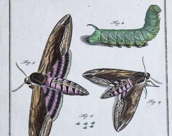 Antique Hand Colored  Moth Engraving by Rosel Von Rosenhof (August Johann) 1750's