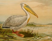 1900 Antique gorgeous lithograph of a PELICAN. Water Birds. Pelicans. Ornithology. 116 years old extra large print
