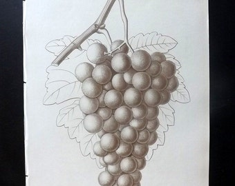 Pomologie de La France 1863 Botany Fruit Print. Muscat Noire Ordinaire. Grapes