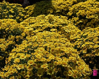 Yellow Mums (FREE SHIPPING in the U.S. only)-- customized  card, print or canvas