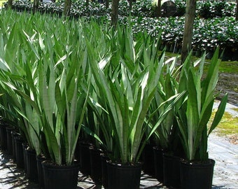 15 Snake Plant Sansevieria Air Purifying Mother in Law's Tongue Indoor Outdoor Increases Oxygen in your home! Purifies the Air! Easy Care