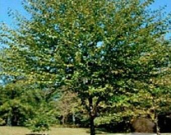 Sweet Birch Tree Seeds, Betula lenta - 25 Seeds