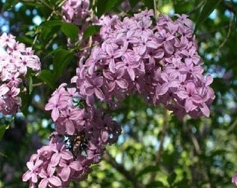 Early Lilac Tree Seeds, Syringa oblata - 25 Seeds