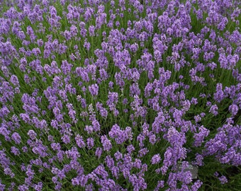 500 English Lavender Flower Seeds, Lavender Augustifolia, Grow for Tea, Fragrant Flowers