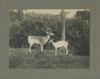 Deer with fawn antique strange taxidermy photo
