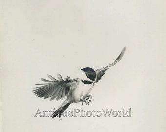 Bullfinch bird in flight vintage art photo