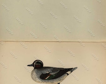 Teal Duck Antique Original  Natural History Bird Print- Hand color  -  Realism -