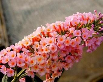 Butterfly Bush Etsy