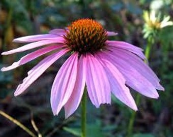 PURPLE CONEFLOWER SEEDS 25 Fresh seed ready to plant in your garden