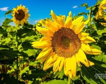 Sunflower Print, Sunflower, Sunflower Art, Sunflower Decor, Sunflower Picture, Kansas Sunflower, Sunflower Field, Field of Sunflowers