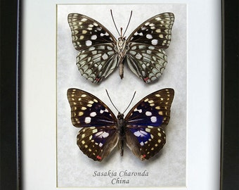 Japanese Purple Emperor Sasakia Charonda Set Real Framed Butterflies In Shadowbox