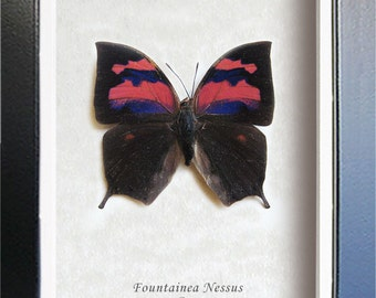 Colorful Fountainea Nessus Real Butterfly From Peru Framed In Shadowbox