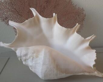 Large Seashells, Large Shell, Giant Spider Conch Shell, Sea shells, Beach Decor, Nautical Decor, Coastal Decor