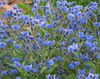 Forget Me Not- Chinese Blue- 500 Seeds