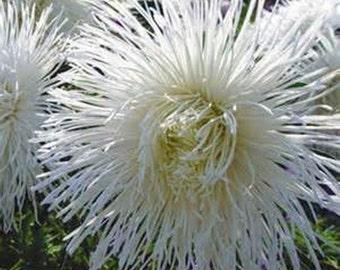 Aster Tall Needle Unicom Needle White * 25 Seeds