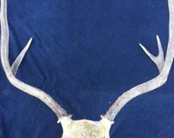 5 point Buck Deer Rack