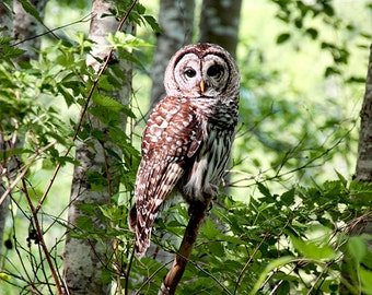 Wildlife Photography, Owl Print, Barred Owl, Nature Photography, Bird Prints, Nature Prints, Bird Photography, Owl Photograph, Raptors