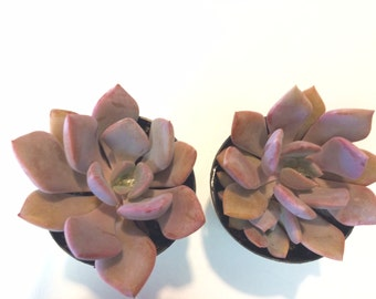 Small Succulent Plant Graptoveria Little Debbie